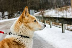 Ginger dog is looking down and waiting for her master. In snow and ice day in village in Latvia. Walking outdoor. Pet road walk in a winter 2019. Breeded royalty free stock image