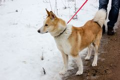 Ginger dog is looking down and waiting for her master. In snow and ice day in village in Latvia. Walking outdoor. Pet road walk in a winter 2019. Breeded royalty free stock images
