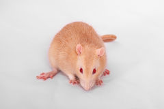 Ginger domestic rat close up Stock Photos