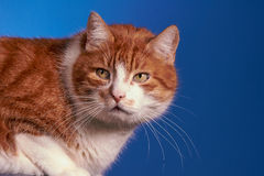 Ginger European cat, Stock Photo
