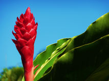 Ginger Flower. Against a blue hawaiian sky Royalty Free Stock Image