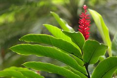 Ginger flower Royalty Free Stock Photography