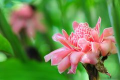 Ginger flower. A ginger flower taken in natural lighting Royalty Free Stock Image