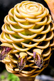 Ginger flower. Beautiful closeup green beehive ginger flower in tropical garden Royalty Free Stock Photos