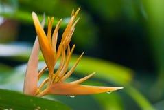 Ginger Flower Orange Close acima com gotas Imagens de Stock