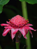 Ginger Flower. Pink ginger flower. Tropical flower. It is edible and used in cooking Stock Photos