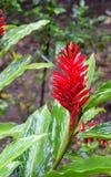 Ginger Flower rosso - alpinia purpurata - piuma dello struzzo - zenzero rosa del cono con le foglie verdi Immagini Stock Libere da Diritti