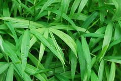 Gingere leaves -Zingiber officinale - Ayurvedic plant for background or wall paper royalty free stock photo
