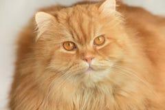 Ginger fluffy cat. Animal portrait. Ginger fluffy cat. Cute Animal portrait Royalty Free Stock Photo
