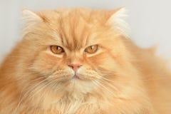 Ginger fluffy cat. Animal portrait. Ginger fluffy cat. Cute Animal portrait Royalty Free Stock Images