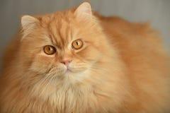 Ginger fluffy cat. Animal portrait Stock Photo