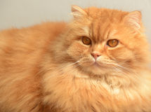Ginger fluffy cat. Animal portrait Royalty Free Stock Photo