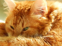 A ginger fluffy cat is watching something. A home pet in the sunlight is watching something. May, 2015 stock image
