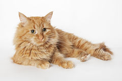 Ginger fluffy cat. On the white background. Close up Stock Photos