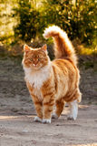 Ginger furry cat Stock Photos