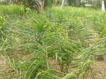 Ginger Gardening Growing Ginger i Sri Lanka arkivfoto