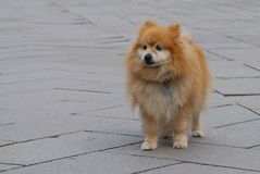 Ginger German Spitz Royaltyfria Bilder