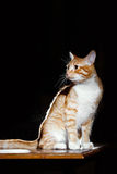 Ginger ginger tabby cat on a table Royalty Free Stock Images
