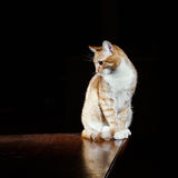 Ginger ginger tabby cat on a table Stock Images