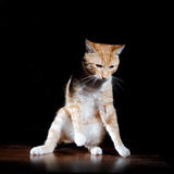 Ginger ginger tabby cat on a table Royalty Free Stock Photo