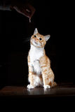 Ginger ginger tabby cat on a table Stock Photography