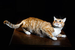 Ginger ginger tabby cat on a wooden table Royalty Free Stock Photo