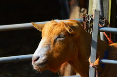 Ginger goat Stock Photo