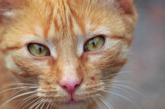 Ginger green-eyed cat. The picture shows a cat face. He is smooth coat, ginger color. His expressive green eyes and long whiskers Stock Photography