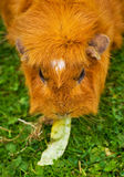 Ginger Guinea Pig Royalty Free Stock Images