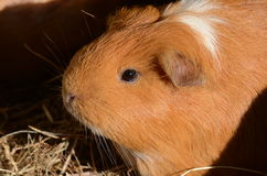 Ginger Guinea Pig Stock Photo