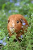 Ginger Guinea pig. A ginger guinea-pig in a field of blue flowers Stock Photography