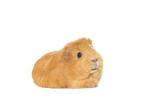 Ginger guinea pig Royalty Free Stock Photography