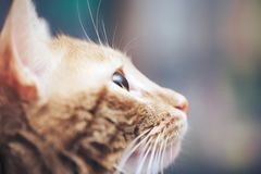 Ginger Cat Profile. Ginger Hair Cat Profile. Macro Close Up royalty free stock photo
