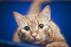 Ginger Cat at Home. Ginger Hair Red Cat at Home stock images