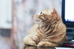Ginger Cat at Home. Ginger Hair Red Cat at Home stock photo