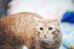 Ginger Cat at Home. Ginger Hair Red Cat at Home stock image