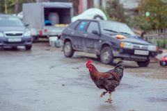 Homemade brown chickens walking on the road in the village. Ginger Homemade brown chickens walking on the road in the village stock photos