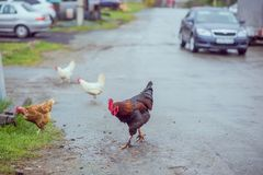 Homemade brown chickens walking on the road in the village. Ginger Homemade brown chickens walking on the road in the village stock images