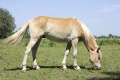 Ginger horse eating grass Stock Photo