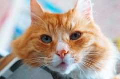 Well maintained clean fluffy cat, ginger house cat. Ginger house cat, well maintained clean fluffy cat stock images