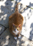 Ginger house cat Royalty Free Stock Images