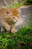 Ginger Kitten. 8 week old ginger kitten ready to pounce Royalty Free Stock Images