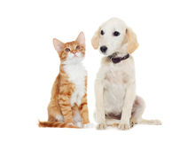 Ginger kitten and beige puppy Royalty Free Stock Images