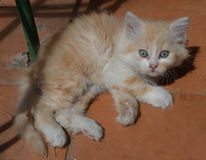 Ginger kitten. With blue eyes Royalty Free Stock Photo