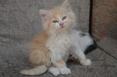 Ginger kitten. With blue eyes Stock Images