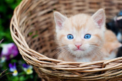 Ginger kitten with blue eyes in a wicker basket Royalty Free Stock Photo
