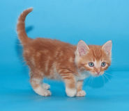 Ginger kitten cautiously goes on blue Stock Images