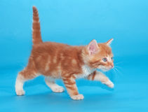 Ginger kitten cautiously goes on blue Stock Image