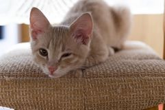 Ginger kitten on the chair. Cat peeps with one eye. Blink with one eye. Dormant cat stock photography