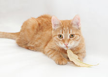 Ginger kitten chewing stalks of yellow autumn leaf Stock Photography